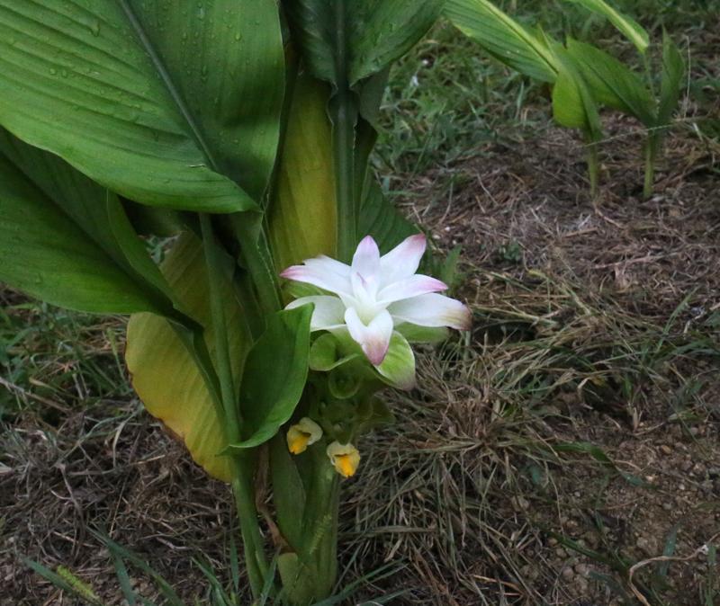 ウコンの花のアイキャッチ画像